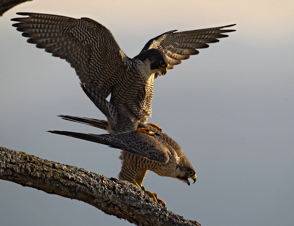 Wanderfalke (Falco peregrinus) Peregrine Falcon