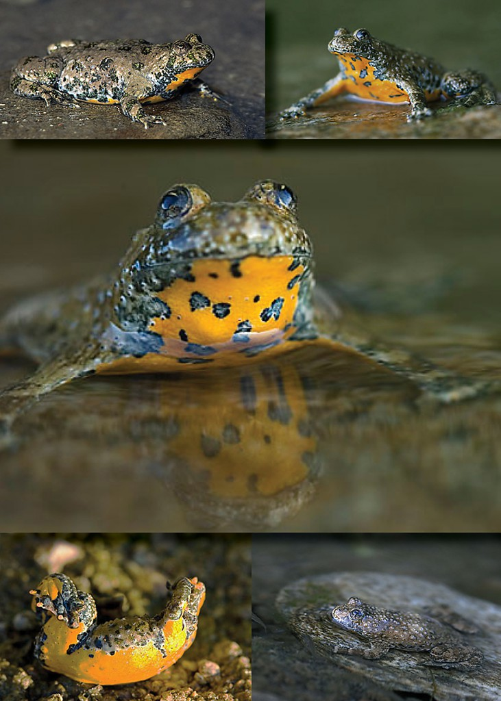 Gelbbauchunke    (Bombina variegata)    Yellow-bellied Toad