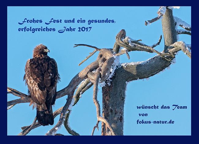 Weihnachtskarte, Steinadler, Golden Eagle, Aquila chrysaetos