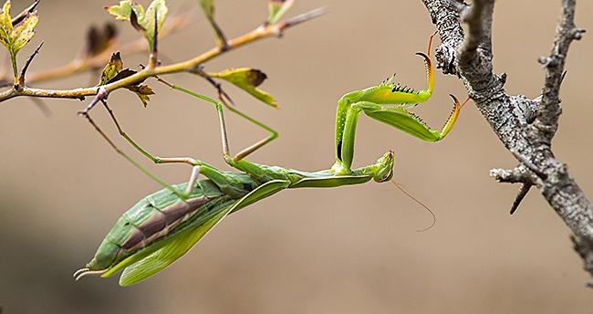Europäische Gottesanbeterin, Gottesanbeterin, Mantis religiosa, Fangschrecken, Mantodea, praying mantis, European mantis