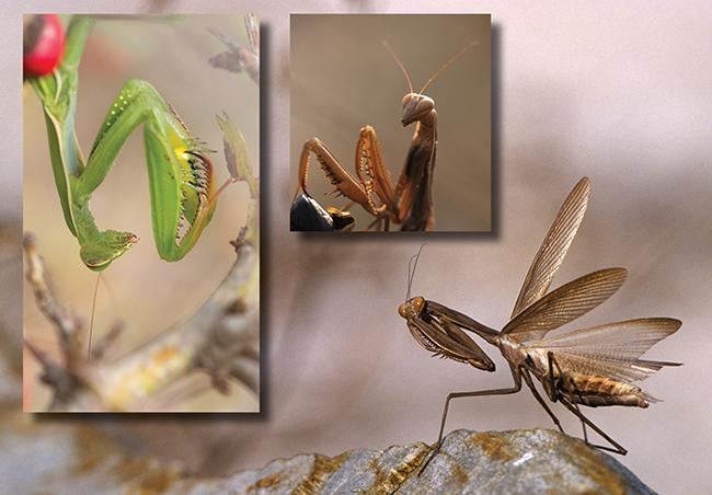 Insekt des Jahres 2017, Europäische Gottesanbeterin - Mantis religiosa - praying mantis