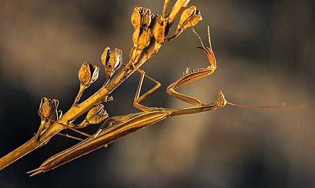 Europäische Gottesanbeterin - Mantis religiosa - praying mantis, insekt des Jahres 2017