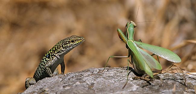 Europäische Gottesanbeterin; Mantis religiosa; Podarcis sicula; Ruineneidechse; beute; fangschrecken; insekten; kriechtiere; reptilien, Gottesanbeterin