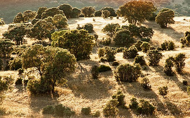 kulturlandschaft; landscape, Steineiche, spanien, extremadura