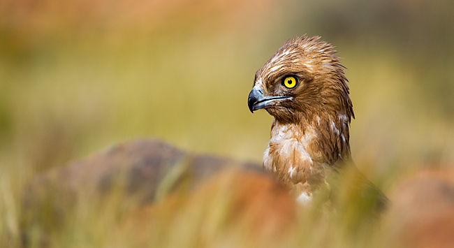 Circaetus gallicus, Schlangenadler, Short-toed Eagle, greifvögel, fotografische Entdeckungsreise