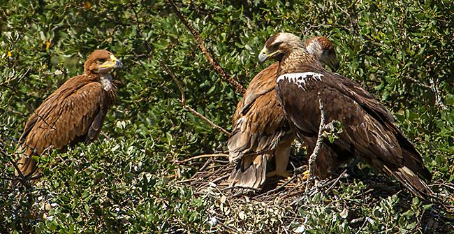 Aquila adalberti; Iberian Imperial Eagle; Spain; Spanischer Kaiseradler; Spanish Imperial Eagle