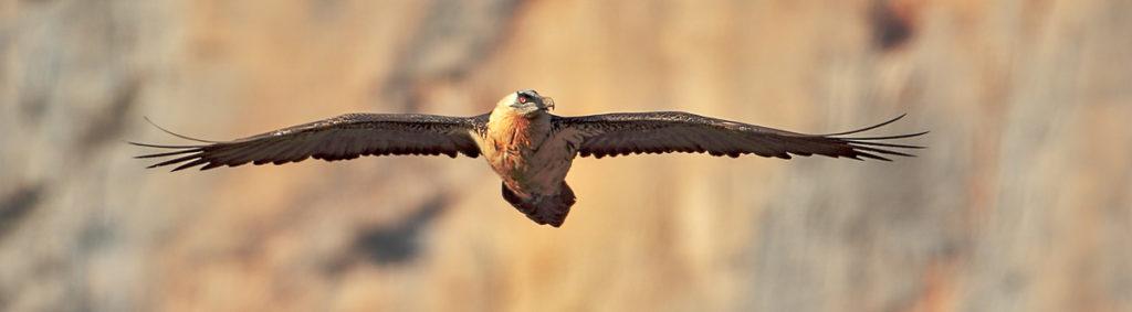 Bartgeier Flug fliegend