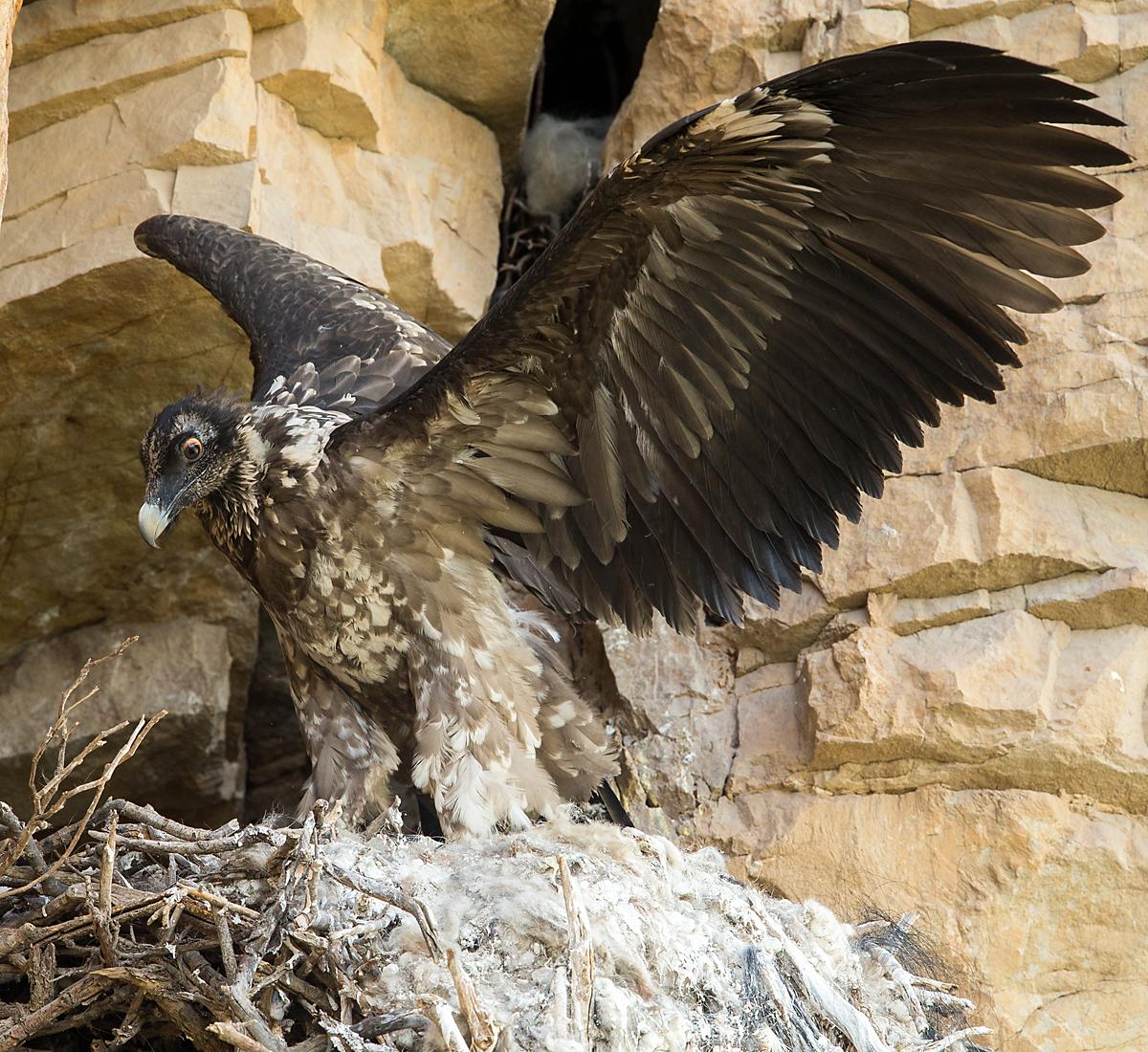 Bartgeier, Jungvogel, Nest