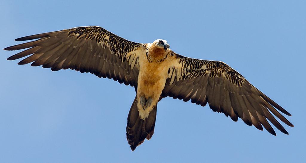 Bartgeier, fliegend, flug, altvogel