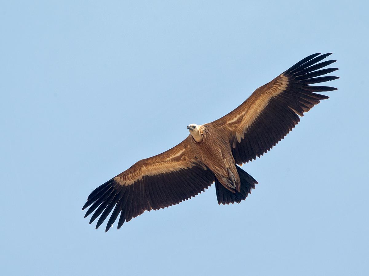 Gänsegeier, Gyps fulvus, Griffon Vulture, greifvögel; Accipitriformes; raptors; geier; vögel; birds; vulture, flug