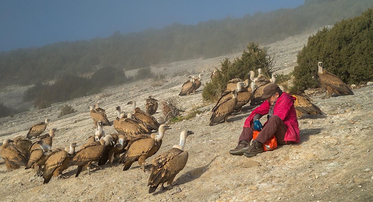 Gänsegeier, Gyps fulvus, Griffon Vulture, greifvögel; Accipitriformes; raptors; geier; vögel; birds; vulture, futterplatz