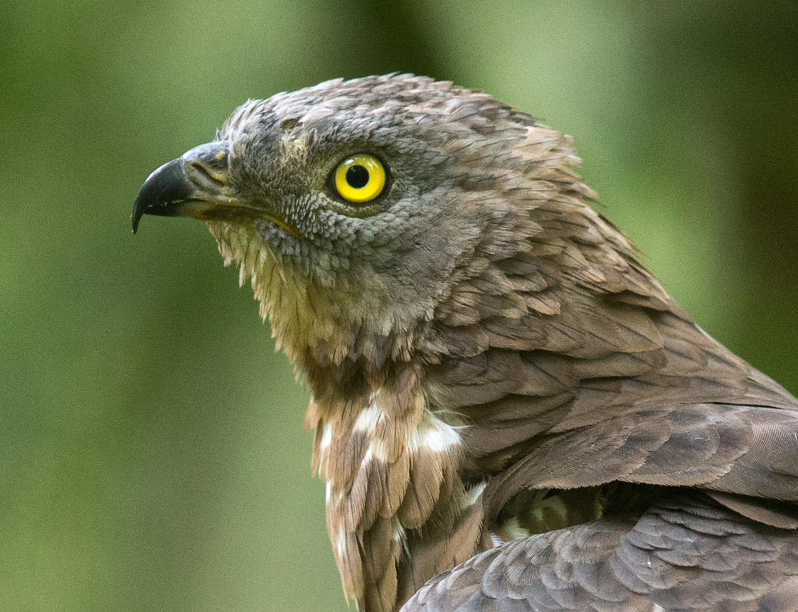 Accipitriformes; Honey Buzzard; Pernis apivorus; Wespenbussard, greifvögel