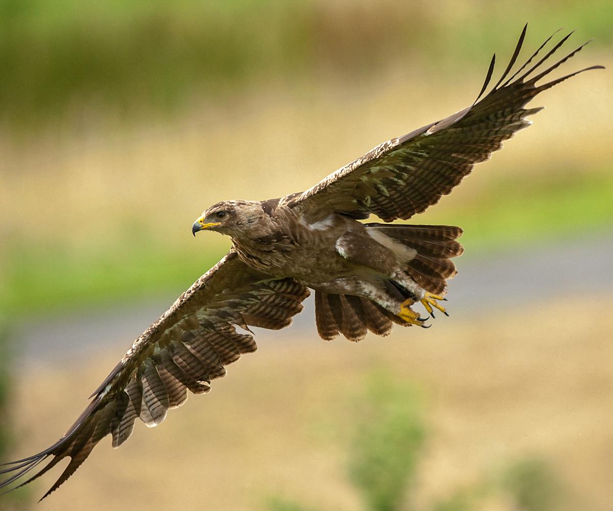 Schreiadler, Aquila pomarina, Lesser Spotted Eagle, vögel, birds, greifvögel, Accipitriformes, raptors, adler, eagle, flug, juvenil, jungvogel