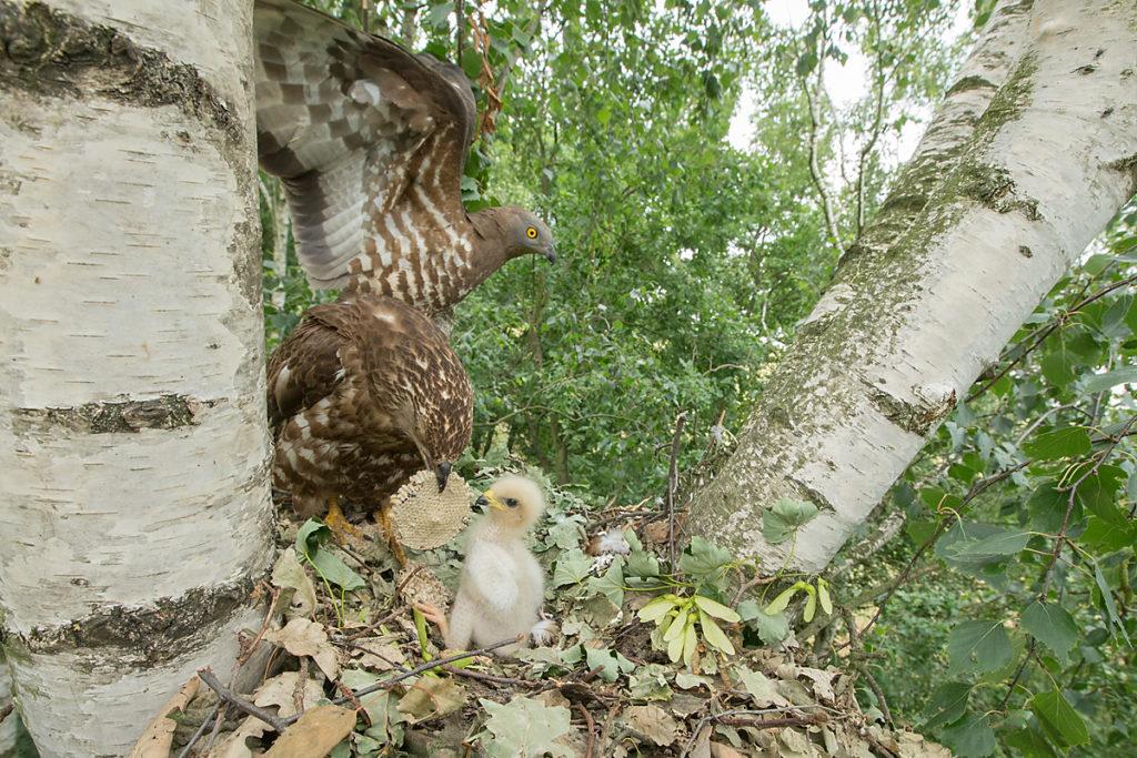 Honey Buzzard; Pernis apivorus; Wespenbussard, nest, horst, jungvogel, altvogel, fütterung