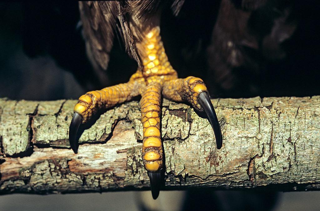 Accipitriformes; Honey Buzzard; Pernis apivorus; Wespenbussard, fuß, ständer