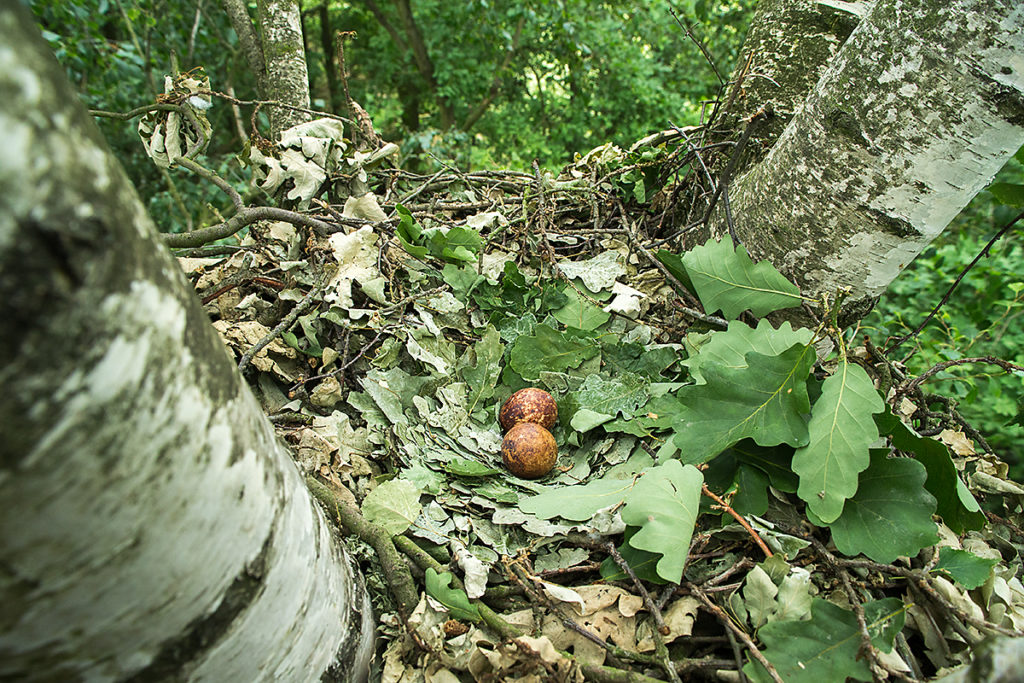 Honey Buzzard; Pernis apivorus; Wespenbussard, nest, horst, eier, gelege