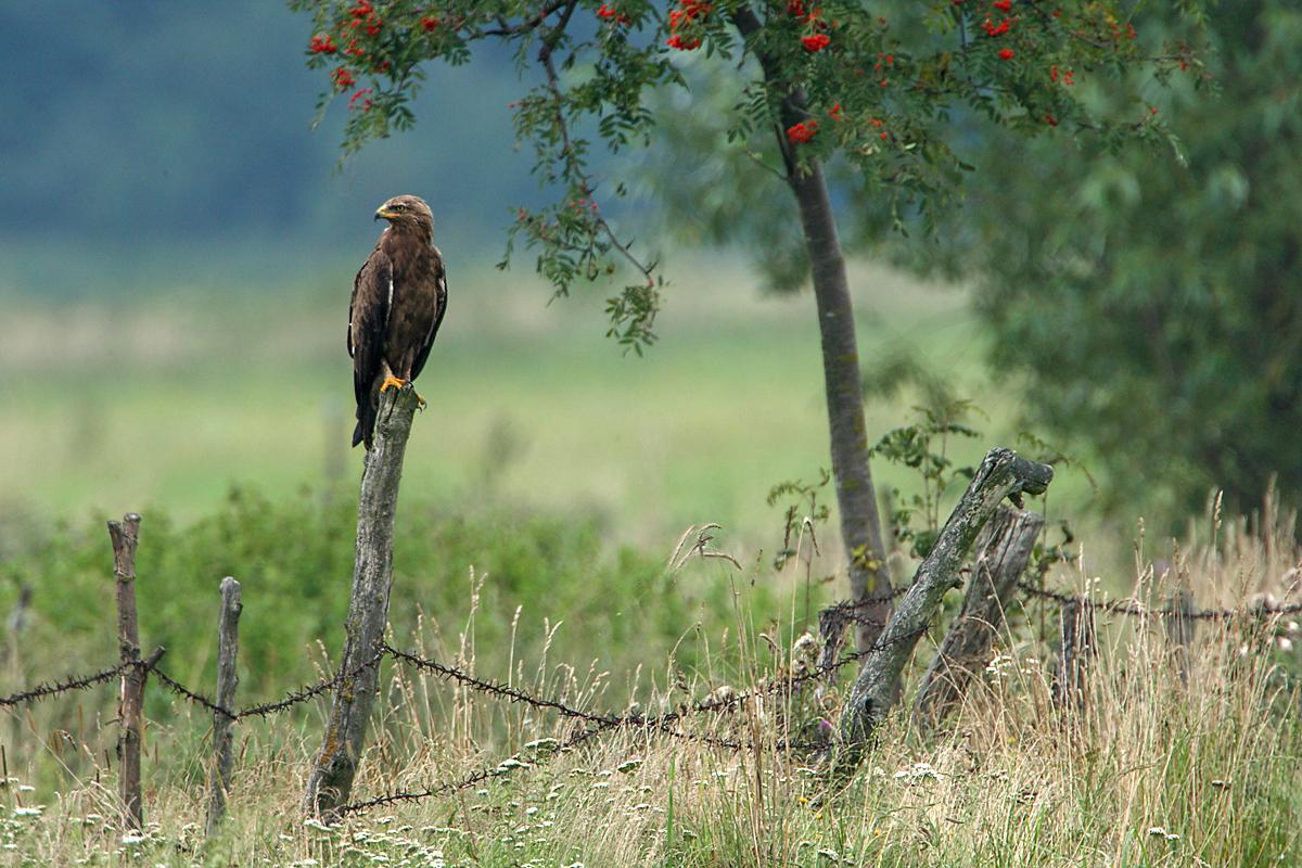 Schreiadler, Aquila pomarina, Lesser Spotted Eagle, vögel, birds, greifvögel, Accipitriformes, raptors, adler, eagle