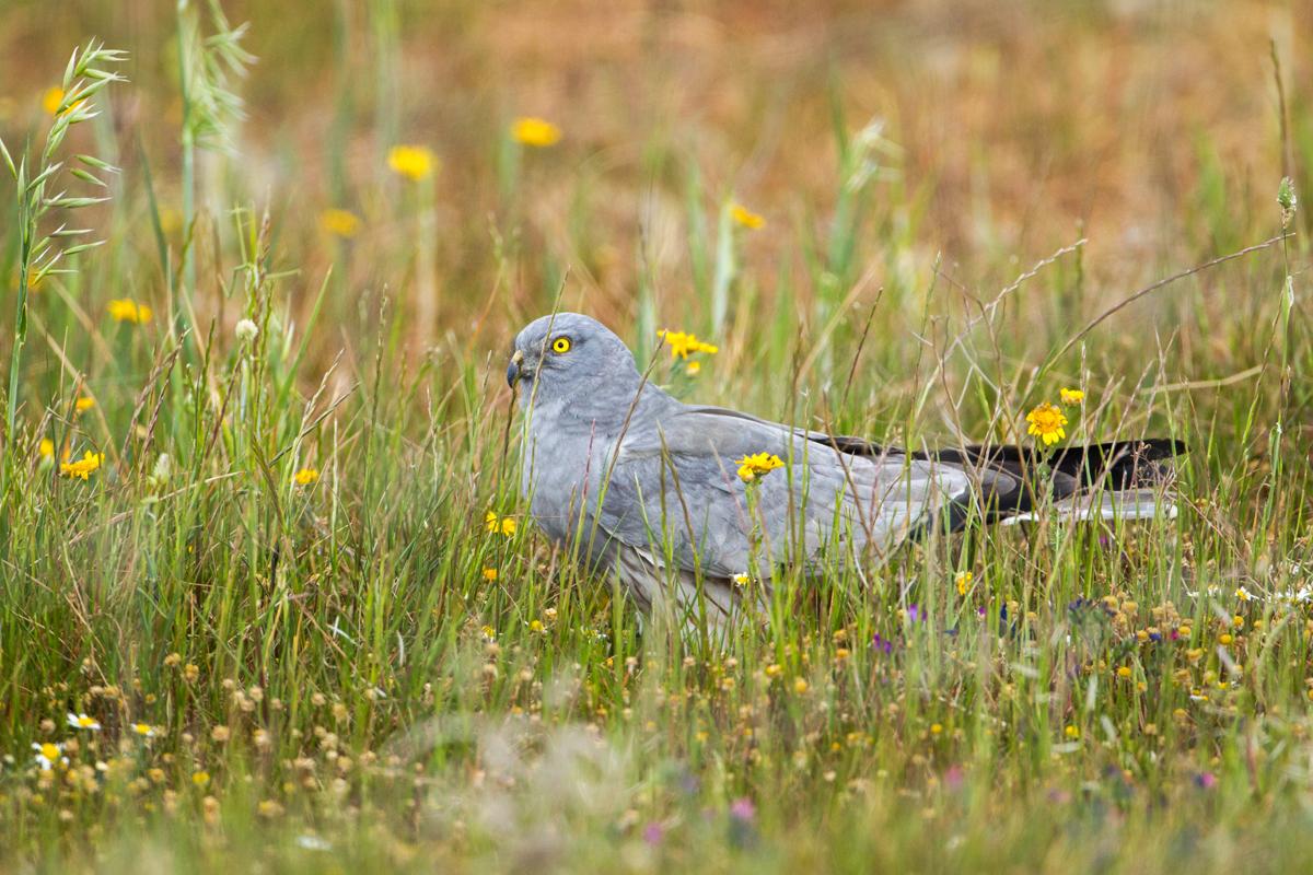 Wiesenweihe, Circus pygargus, Montagu`s Harrier, greifvögel, Accipitriformes, raptors, vögel, birds, männchen, extremadura