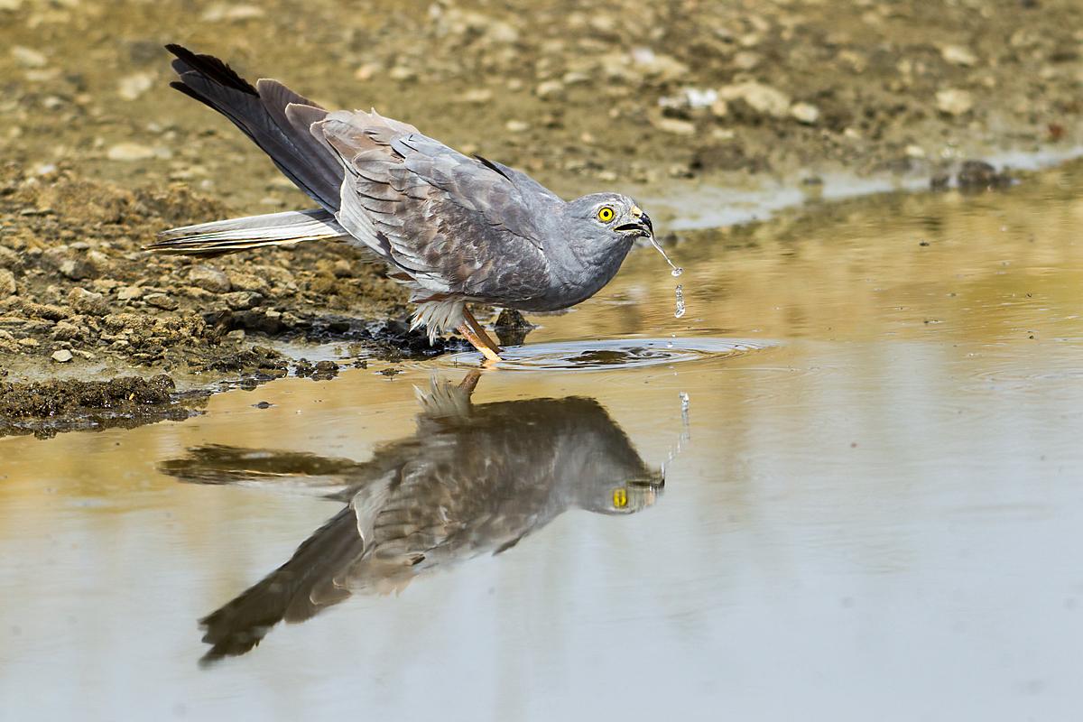 Wiesenweihe, Circus pygargus, Montagu`s Harrier, greifvögel, Accipitriformes, raptors, vögel, birds