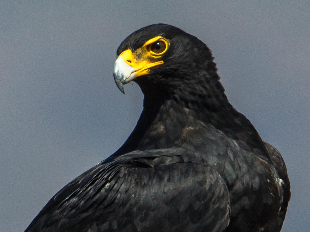 Aquila verreauxii, Kaffernadler, Verreaux's Eagle, Black Eagle, vögel, birds, greifvögel, Accipitriformes, raptors, adler, eagle