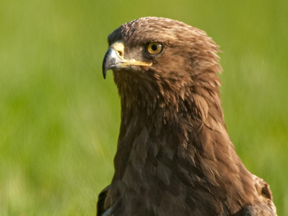 Schreiadler, Aquila pomarina, Lesser Spotted Eagle, vögel, birds, greifvögel, Accipitriformes, raptors, adler, eagle, porträt