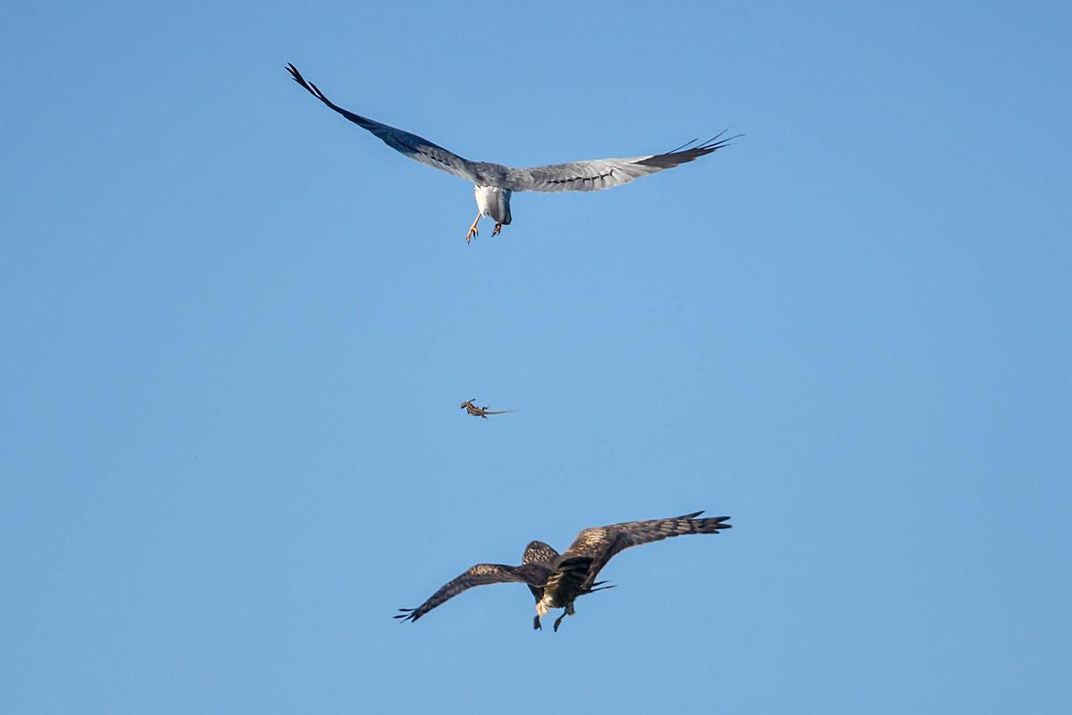 Wiesenweihe, Circus pygargus, Montagu`s Harrier, greifvögel, Accipitriformes, raptors, vögel, birds, männchen, weibchen, balzflug