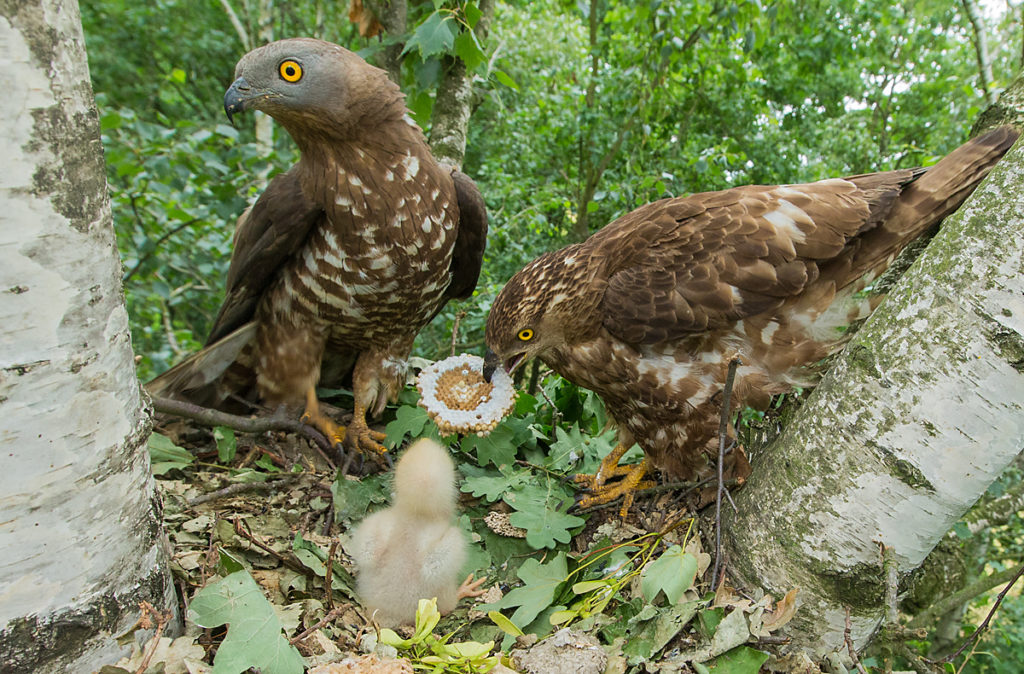 Accipitriformes; Honey Buzzard; Pernis apivorus; Wespenbussard
