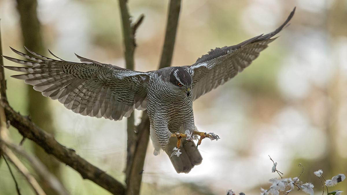 Habicht, Accipiter gentilis, Goshawk, greifvögel, Accipitriformes, raptors, vögel, birds, altvogel, jagend, flug