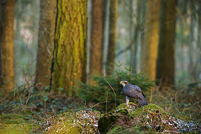 Accipiter gentilis; Goshawk; Habicht; birds; falconiformes; greifvögel; male; männchen; pröhl; raptors; vögel