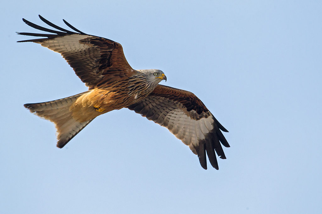Milvus milvus; Red Kite; Roter Milan; Rotmilan; birds; falconiformes; flight; flug; greifvögel; pröhl; raptors; vögel, unterseite