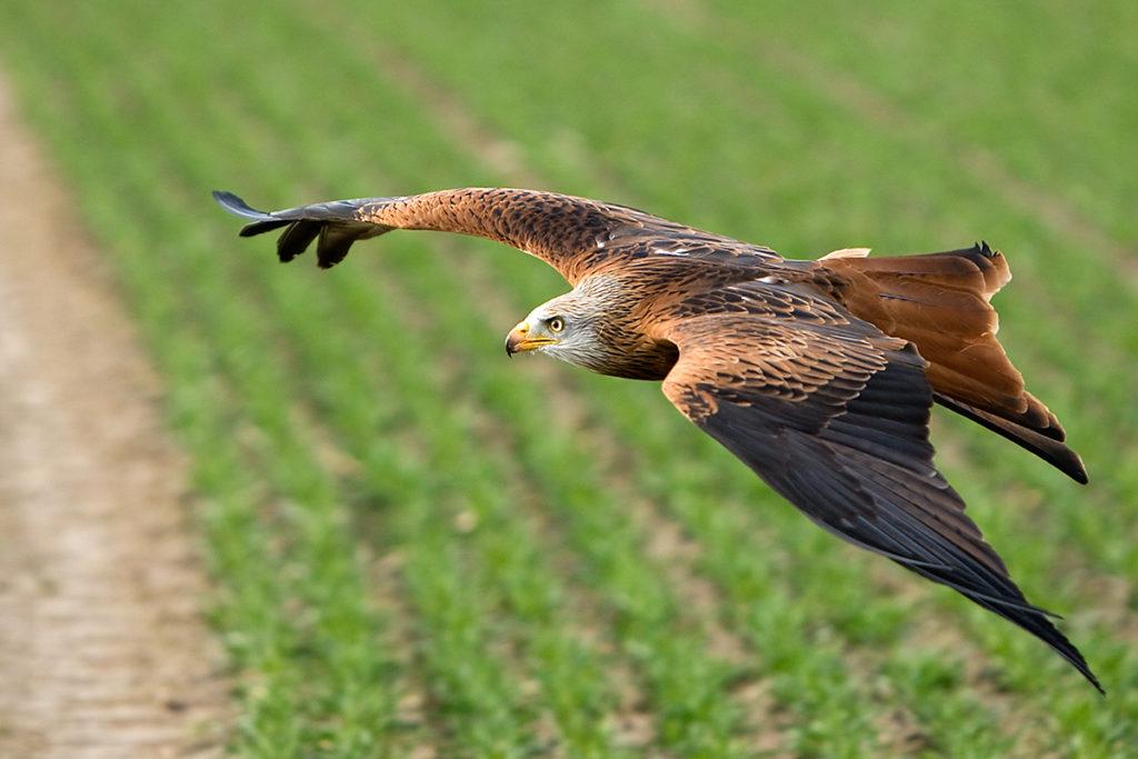 Milvus milvus; Red Kite; Roter Milan; Rotmilan; birds; falconiformes; flight; flug; greifvögel; pröhl; raptors; vögel, oberseite