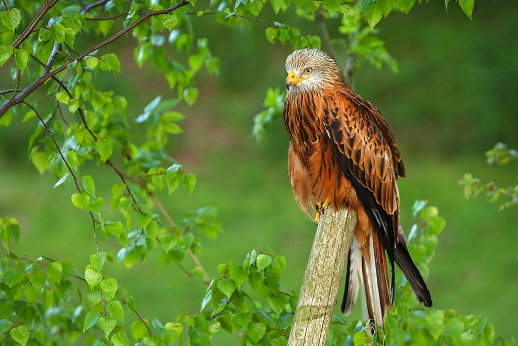 Accipitriformes; Milvus milvus; Red Kite; Roter Milan; Rotmilan; birds; falconiformes; greifvögel; pröhl; raptors; vögel