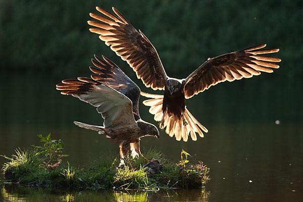 Accipitriformes; Circus aeroginosus; Marsh Harrier; Rohrweihe; beuteübergabe; birds; female; flight; flug; greifvögel; male; männchen; pröhl; raptors; vögel; weibchen