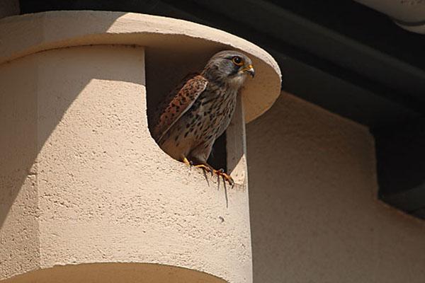 Falco tinnunculus; Kestrel; Turmfalke; birds; falconiformes; falken; greifvögel; nisthilfe; nistkasten; pröhl; raptors; strobel-nistkasten; vögel