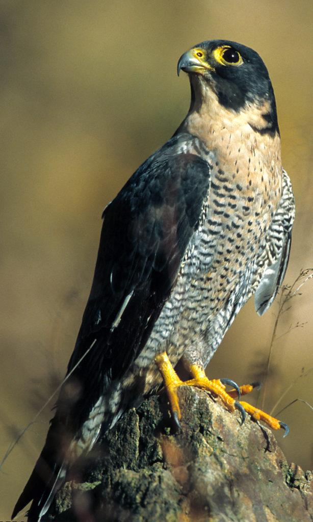 Falco peregrinus; Wanderfalke; greifvöge