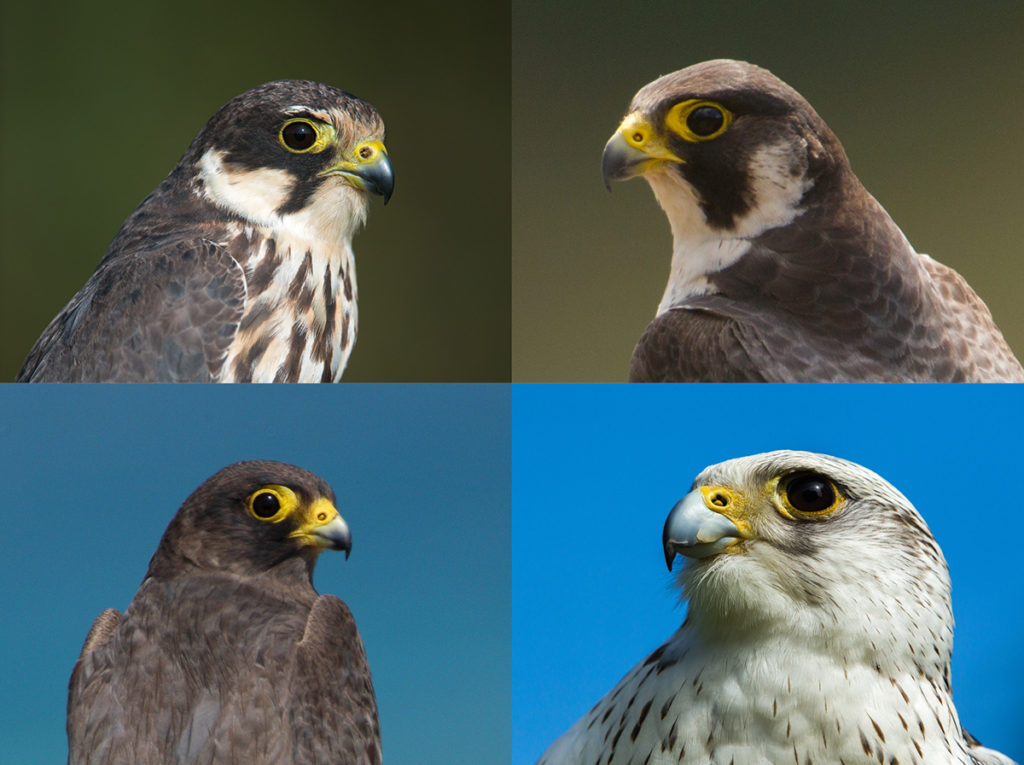 falconiformes; falken; greifvögel; raptors; vögel