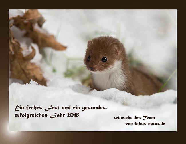 Carnivora; Least Weasel; leo; mammals; Mauswiesel; Mustela nivalis; Raubtiere; säugetiere; schnee; snow; winter