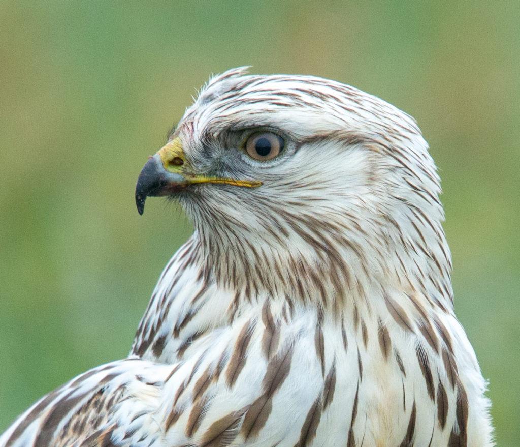 Accipitriformes; Buteo lagopus; Rauhfußbussard; Rough-legged Buzzard; birds; greifvögel; juvenil; pröhl; raptors; vögel