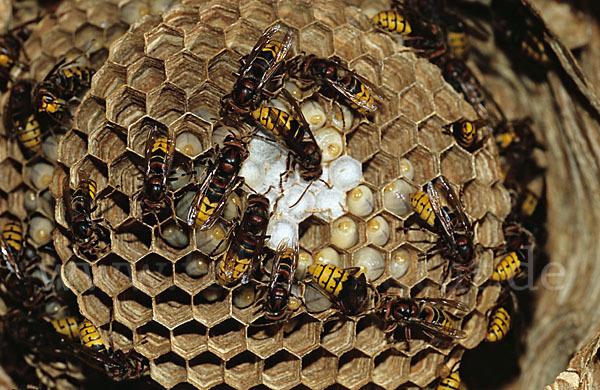 Weitere zugewiesene begriffe insekten hornisse hautfl gler
