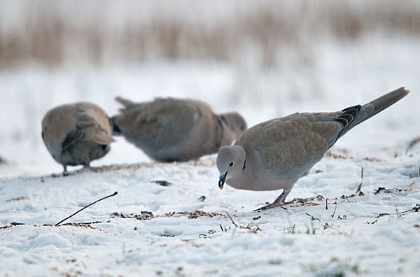 Weitere zugewiesene begriffe vögel winter schnee türkentaube