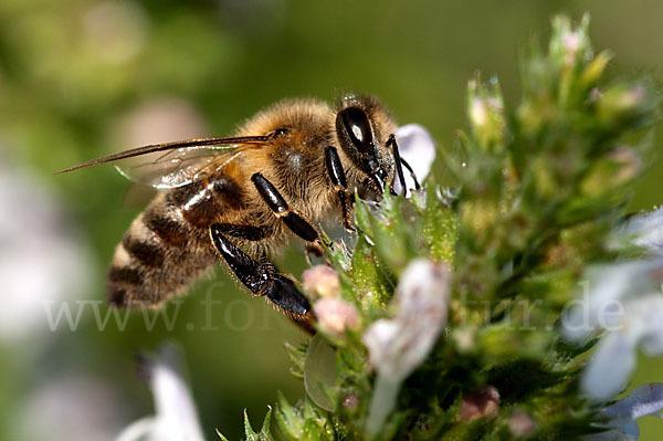 http://www.fokus-natur.de/Image/westliche_honigbiene-apis_mellifera-46956.jpg