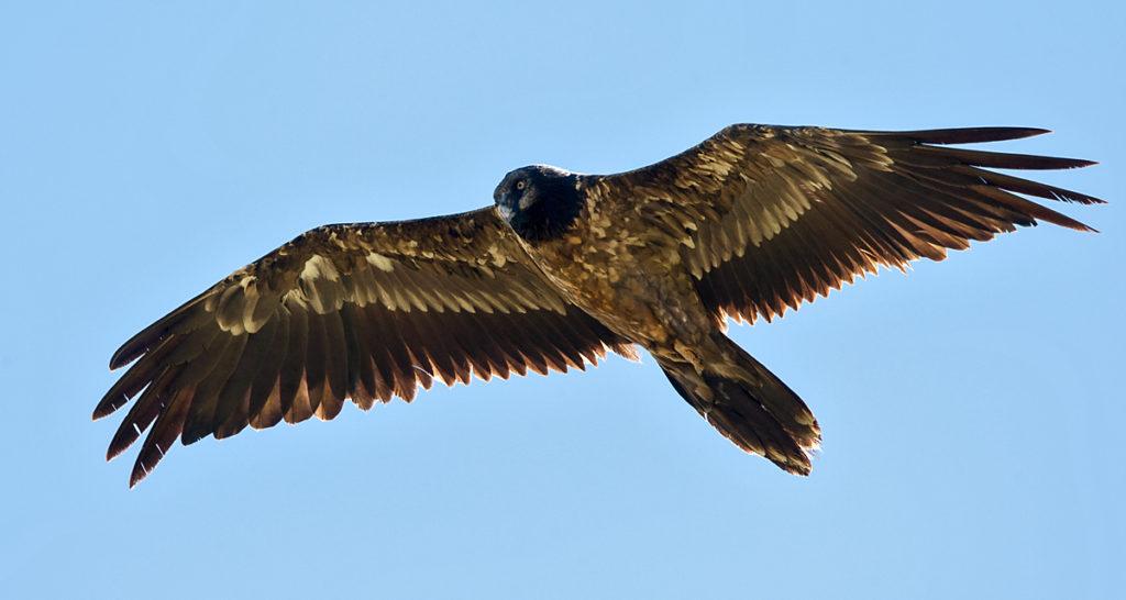 Bartgeier fliegend Jungvogel
