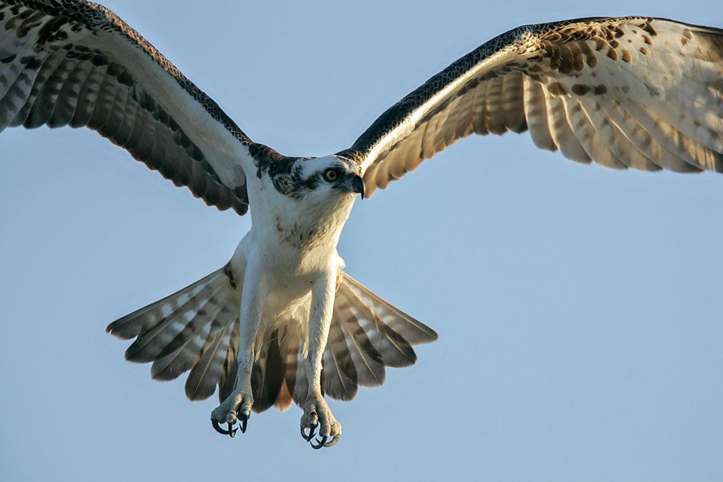 jagender Fischadler