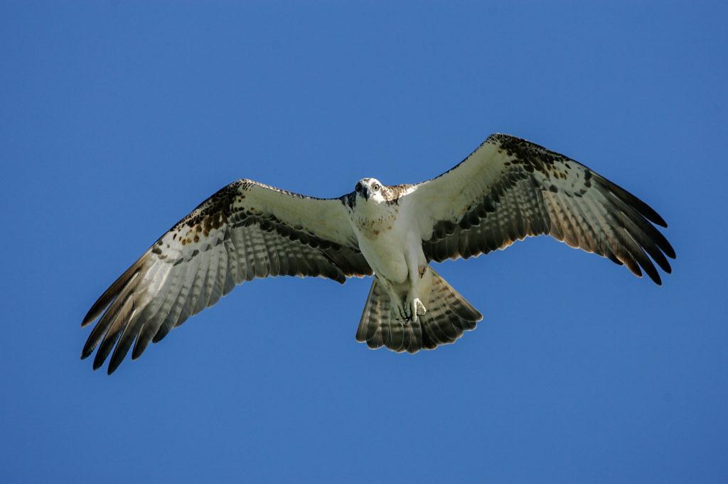 Der Fischadler - Fokus-Natur.de