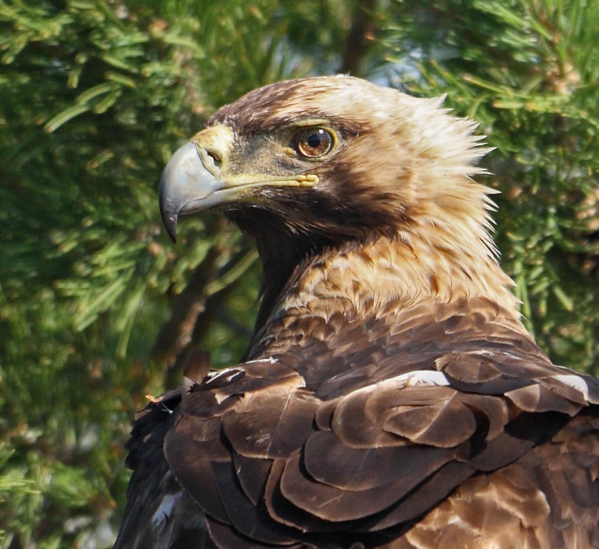 Kaiseradler, Aquila heliaca, Imparial Eagle, vögel, birds, greifvögel, Accipitriformes, raptors, adler, eagle, Östlicher Kaiseradler