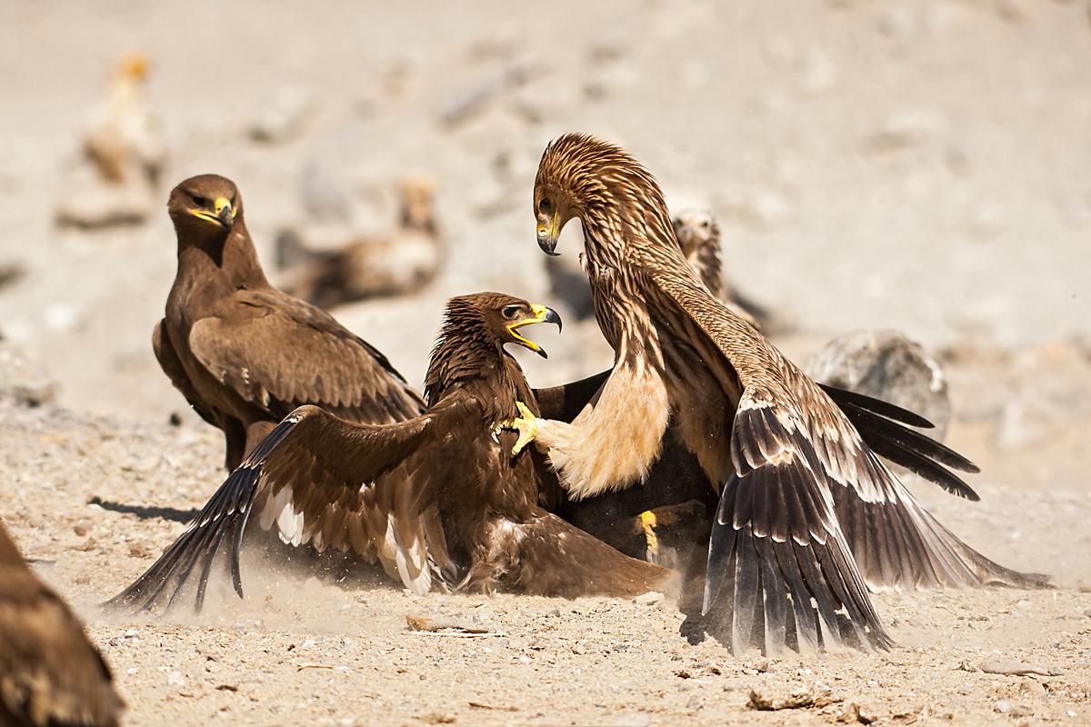 Kaiseradler, Aquila heliaca, Imparial Eagle, vögel, birds, greifvögel, Accipitriformes, raptors, adler, eagle, Östlicher Kaiseradler, Steppenadler, Aquila nipalensis, Steppe Eagle