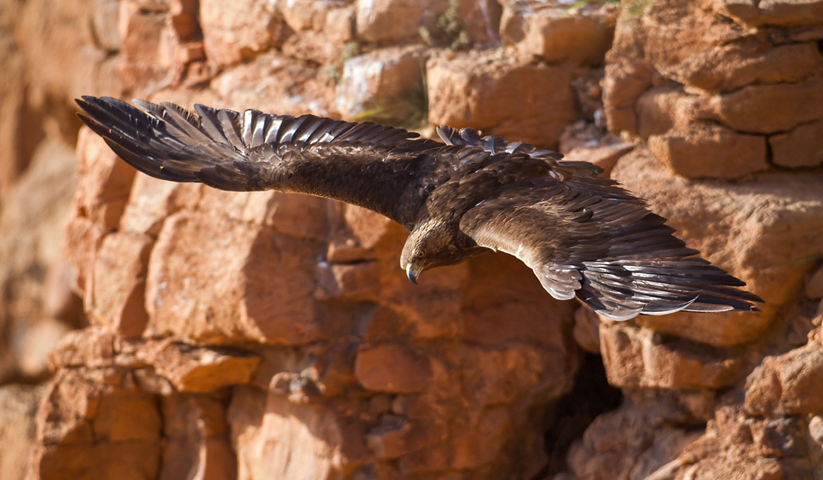 Steinadler sspec., Steinadler, Aquila chrysaetos homeyeri, Golden Eagle, vögel, birds, greifvögel, Accipitriformes, raptors, adler, eagle