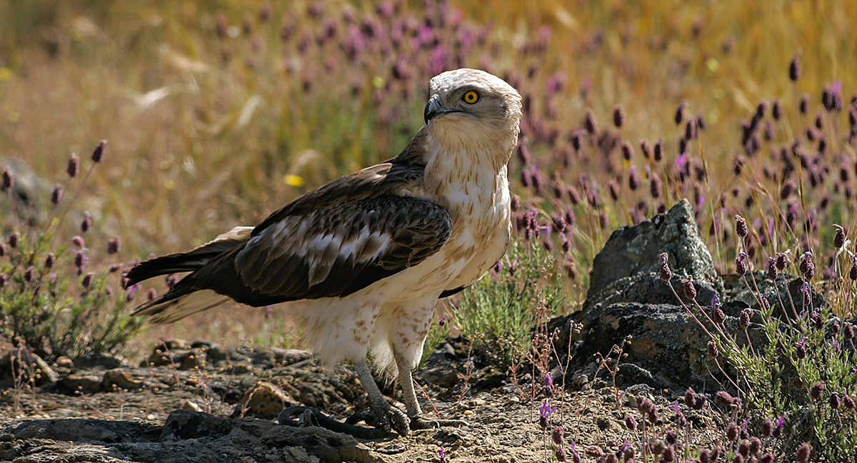 Schlangenadler, Circaetus gallicus, Short-toed Eagle, vögel, birds, greifvögel, Accipitriformes, raptors, adler, eagle