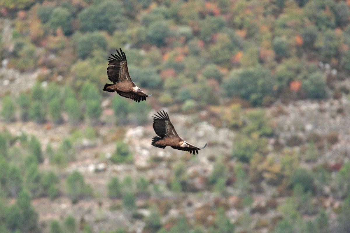 Gänsegeier, Gyps fulvus, Griffon Vulture, greifvögel; Accipitriformes; raptors; geier; vögel; birds; vulture, flug, wanderung