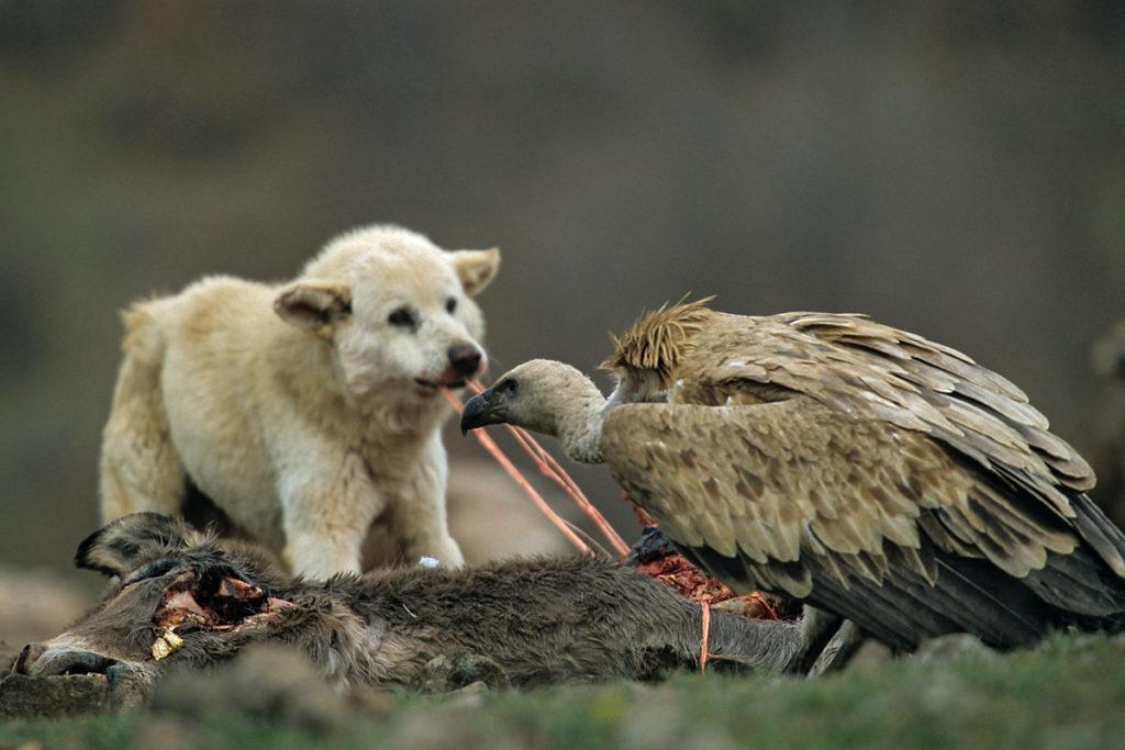 Gänsegeier, Gyps fulvus, Griffon Vulture, greifvögel; Accipitriformes; raptors; geier; vögel; birds; vulture, luderplatz, futterplatz, nahrung, aas